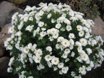 Хризантема белая мелкая