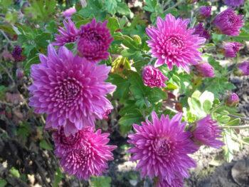 Хризантема розовая средняя (hr-7)