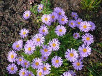 Aster alpinus Астра альпийская, фиолетовая