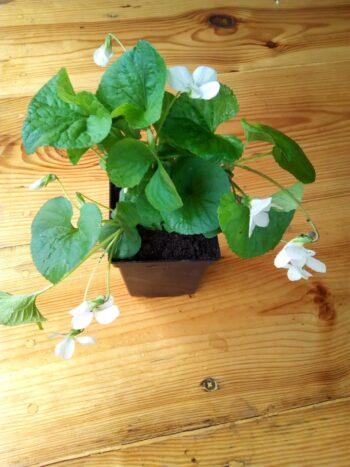 Viola sororia «Albiflora» Фиалка мотыльковая белая