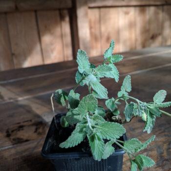 Ландыш майский Convallaria majalis.
