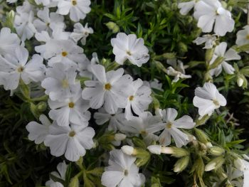 Флокс шиловидный снежно-белый Phlox subulata fs1