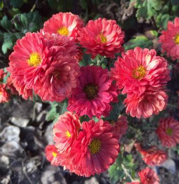 Хризантема садовая (hr-5)