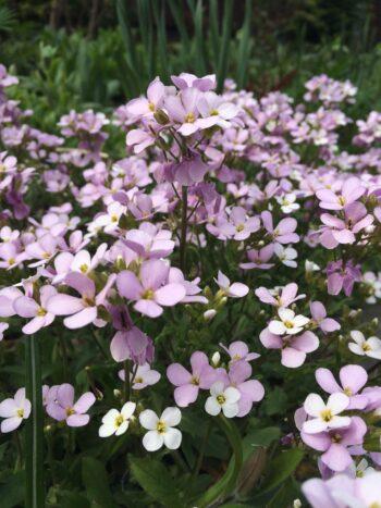 Арабис кавказский розовый Arabis caucasica