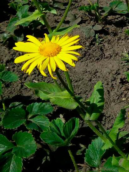 Doronicum orientale Дороникум восточный