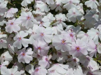"Phlox subulata ""White Delight""  Флокс шиловидный белый fs7"