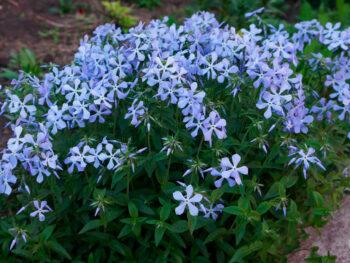 Флокс растопыренный голубой Blue Perfume fp1