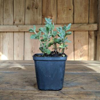 Земляника садовая - Сорт Барон Солемахер - красная ягода
