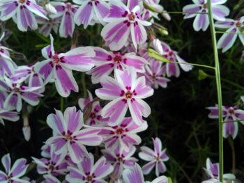 """Флокс шиловидный белый с розовой полосой Phlox subulata """"Candy Stripes""""  fs5"""